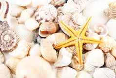 Seashells and seastar. Royalty Free Stock Images