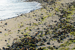 Seashells and seaweeds on the beach. Sand beach covered with washed up seashells and seaweeds Royalty Free Stock Photography