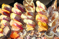 Seashells shark jaws clams Caribbean sea souvenirs Royalty Free Stock Photography