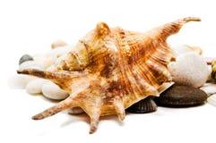 Seashells sobre piedras. Foto de archivo