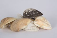 Seashells on a white background. Seashells, souvenirs from a trip to the beach, photographed on a white background stock photos