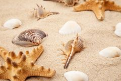 Seashells and starfish in sand on a beach.  royalty free stock images