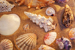 Seashells still life Royalty Free Stock Image