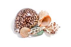 Seashells su priorità bassa bianca Immagini Stock Libere da Diritti
