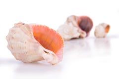 Seashells su priorità bassa bianca Immagine Stock