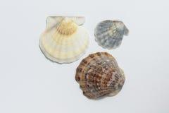 Seashells su priorità bassa bianca Immagine Stock Libera da Diritti