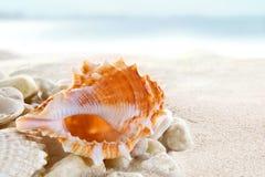 Seashells sulla spiaggia Fotografie Stock Libere da Diritti