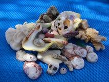 Seashells sur le bleu Photographie stock libre de droits
