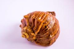Seashells sur le fond blanc images stock