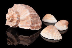 Seashells sur le noir photo libre de droits