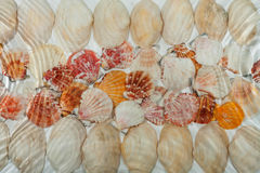 Seashells under water Royalty Free Stock Photo