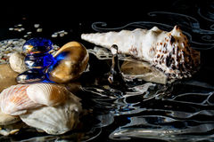 Seashells in water with reflection and with the falling drops isolated on a black background Stock Photography