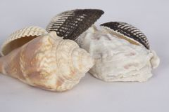 Seashells on white background. A collection of small seashells on a white background. Souvenirs from a trip to the beach royalty free stock images