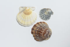 Seashells on white background. Royalty Free Stock Image