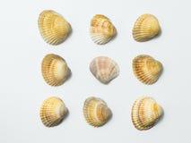 Seashells on white background. Royalty Free Stock Photo