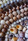 Seashells wykładający w rzędach Zdjęcie Royalty Free