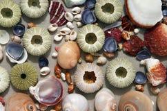 Seashells y textura de los erizos de mar Imagenes de archivo
