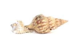 Seashels ha isolato su fondo bianco Fotografia Stock Libera da Diritti