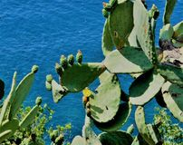 A cactus with buds and yellow flowers, with blue sea in the background stock photos