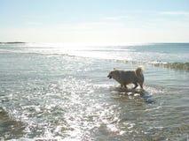 Seashore Dog Royalty Free Stock Photos