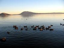seashore för 2 änder Fotografering för Bildbyråer