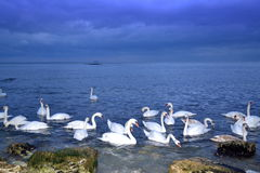 Seashore flock of swans Royalty Free Stock Photography