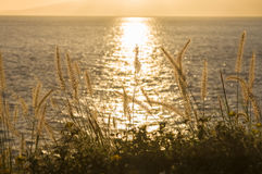 Seashore grass at sunset Royalty Free Stock Image