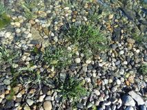 Seashore plants and stones under waves Royalty Free Stock Photography