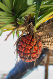 Seashore screwpine fruit Royalty Free Stock Photo
