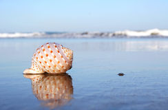 Seashore Seashell Royalty Free Stock Photo
