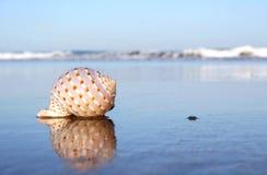Seashore Seashell Royalty Free Stock Photo