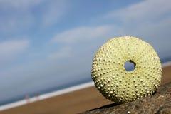 Seashore Urchin royalty free stock photo