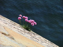 Seaside 3. Wild flower in the early summer i sweden, groves by the sea royalty free stock images