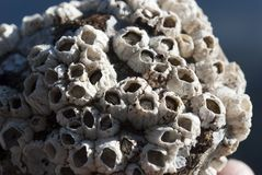 Seaside barnacles Stock Photography