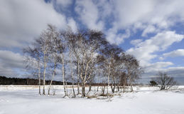 Seaside birch grove, winter landscape Royalty Free Stock Photo