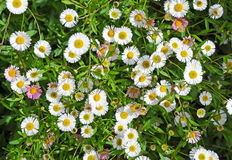 Seaside daisies in spring. White and pink Seaside daisies in a spring garden. Also known as Beach Aster or Beach Daisy Stock Image