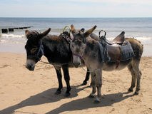 Seaside donkeys Royalty Free Stock Images