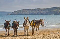 Seaside donkeys. Traditional british seaside donkeys on scarborough beach Royalty Free Stock Image