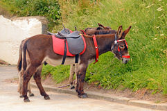 Seaside donkeys resting Royalty Free Stock Photo