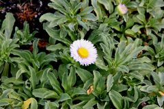 Seaside fleabane, Beach aster, Seaside daisy, Erigeron glaucus. Coastal perennial plant California with sparsely toothed spoon shaped leaves and purple to Royalty Free Stock Photography
