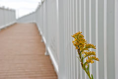 Seaside Goldenrod peeks into white fence Stock Images