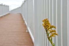 Seaside Goldenrod peeks into white fence Stock Images