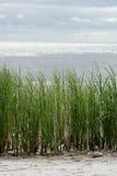Seaside grass. Stock Photo