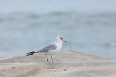 Seaside Heights Seagulls Stock Images