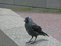 Seaside, jackdaw Stock Photography
