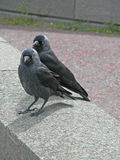 Seaside, jackdaw Royalty Free Stock Photography