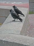 Seaside, jackdaw Stock Photos