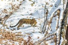 Seaside Leopard, aggressive animal walks on snowy ground, big beautiful striped Leopard. Royalty Free Stock Photography