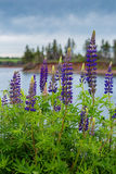 Seaside Lupins Stock Photo