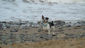 Seaside playtime. A black and white dog playing on a beach Stock Images